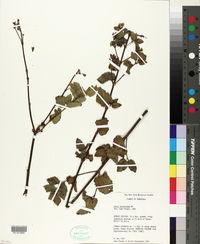 Image of Calea berteriana