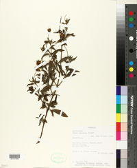 Image of Calea rupicola