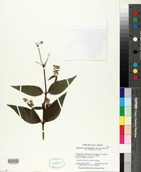 Alloispermum integrifolium image