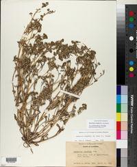 Image of Monolopia congdonii