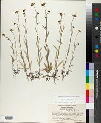 Monolopia gracilens image