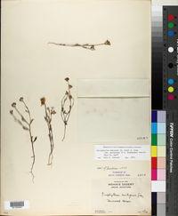 Eriophyllum ambiguum image