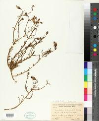 Nicolletia trifida image