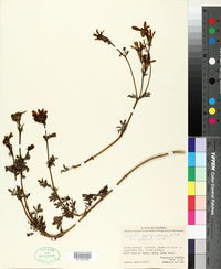 Image of Tagetes zypaquinensis