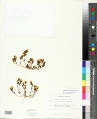 Thymophylla concinna image