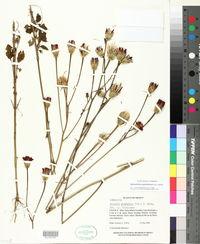 Image of Adenophyllum glandulosum