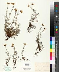 Image of Anthemis alpina