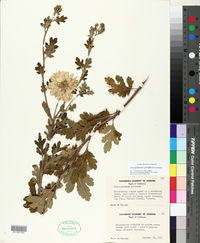 Image of Chrysanthemum grandiflorum