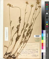 Image of Tanacetum chiliophyllum