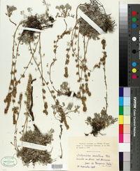 Image of Artemisia mutellina