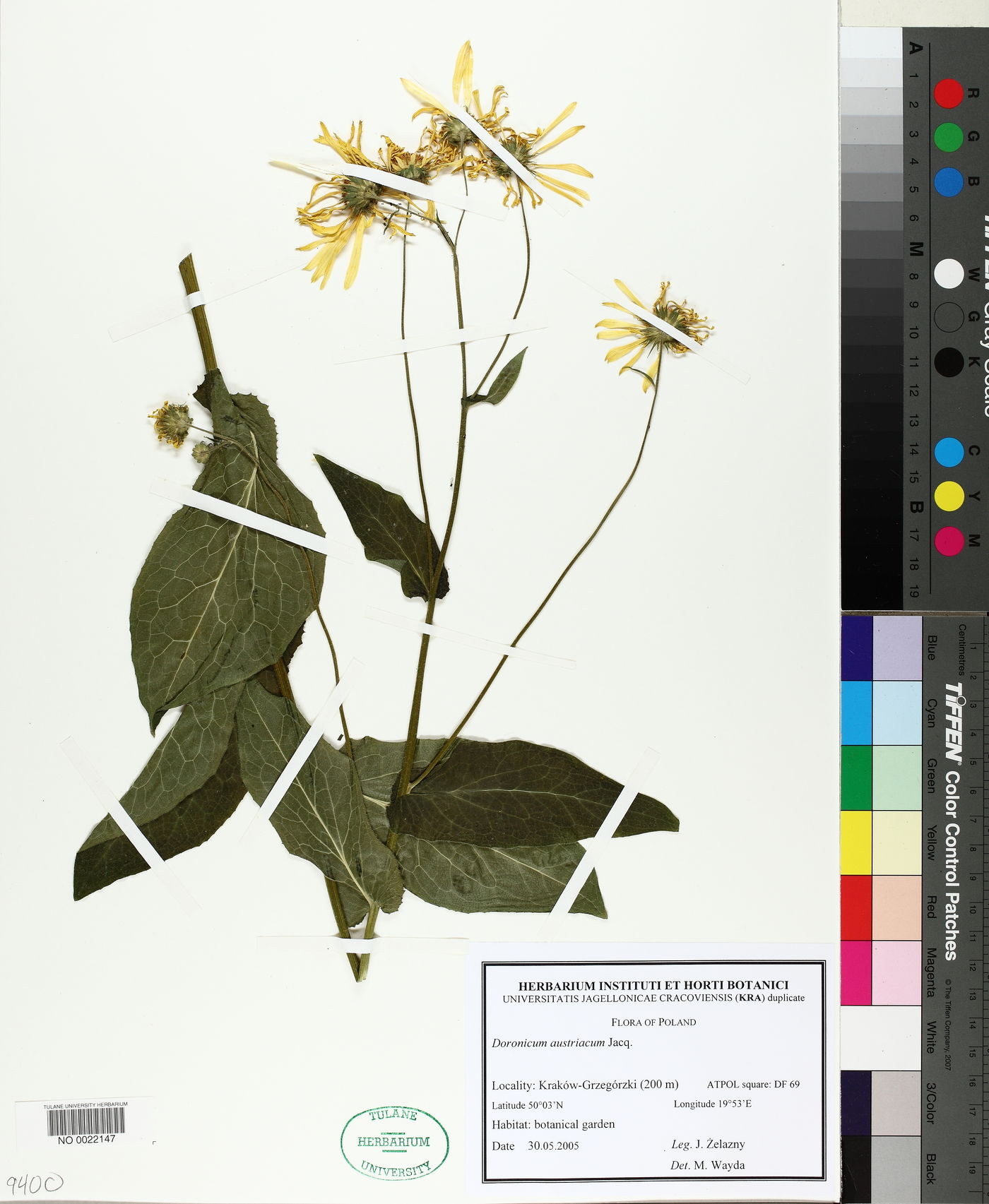 Doronicum austriacum image