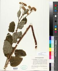 Image of Jacobaea alpina