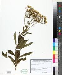 Senecio sarracenicus image