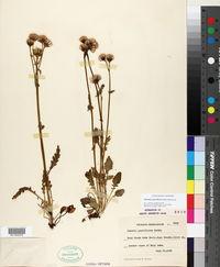 Packera pauciflora image