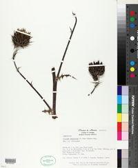 Cirsium conspicuum image