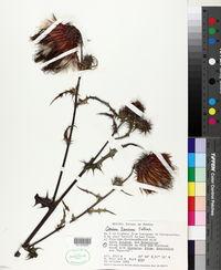 Image of Cirsium faucium