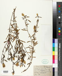 Centaurea aspera image