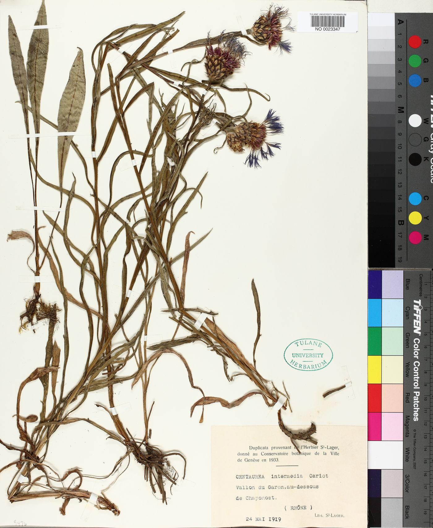 Centaurea triumfettii semidecurrens image