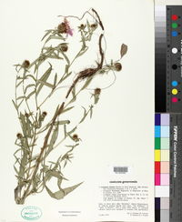 Image of Centaurea rhaetica