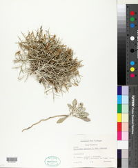 Image of Centaurea spinosa