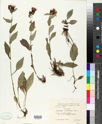 Image of Centaurea transalpina