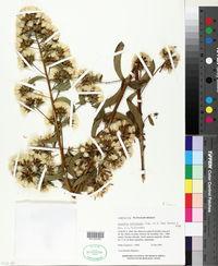 Image of Acourtia reticulata