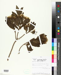 Image of Trixis cacalioides