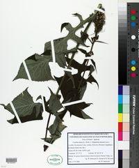Image of Lactuca alpina