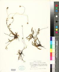 Image of Hieracium castellanum