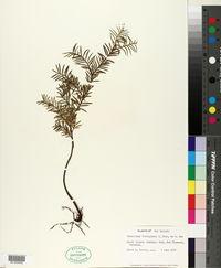 Podocarpus ferrugineus image