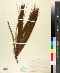 Pinus canariensis image