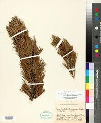 Pinus contorta var. murrayana image