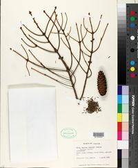 Picea omorika image