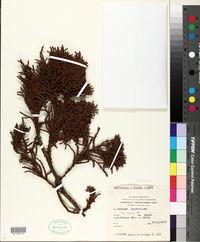 Image of Fitzroya cupressoides