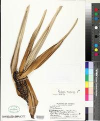 Pandanus tectorius image