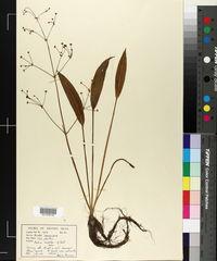 Alisma lanceolatum image