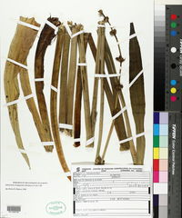 Image of Echinodorus longipetalus