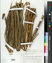 Image of Tripsacum latifolium