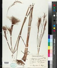Image of Andropogon paniculatus