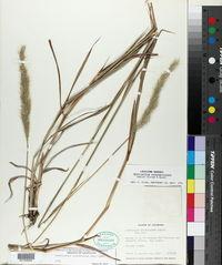 Bothriochloa longipaniculata image