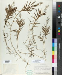 Image of Isachne rigidifolia