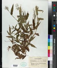 Image of Dichanthelium sciurotis