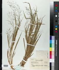 Image of Panicum campestre