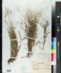 Image of Panicum exiguum