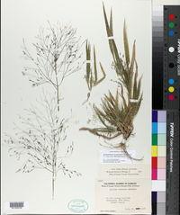 Dichanthelium acuminatum subsp. thermale image