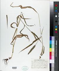Setaria verticilliformis image