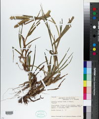 Cenchrus brownii image