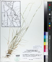 Muhlenbergia tenuifolia image