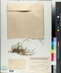 Muhlenbergia ligularis image