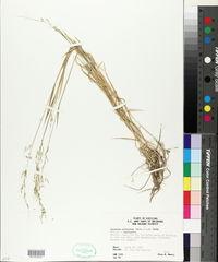 Limnodea arkansana image